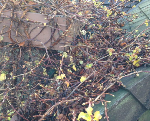 Overgrown trees onto roof area allowing for rodent access to attic areas